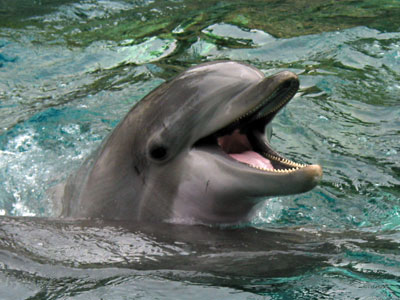 bottlenose dolphin smile